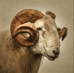 Ram Signed Photographic Print