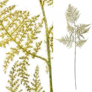 Fern Plant and Green Asparagus Grass Bunch