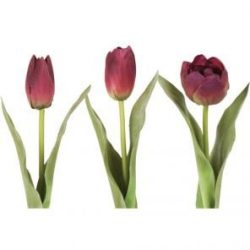 Tulip Mix Wine
