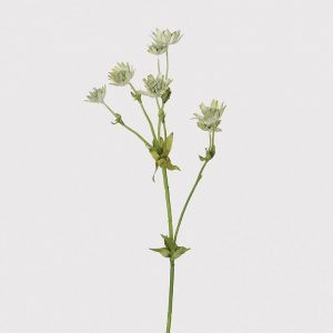 Palest Green Astrantia Spray