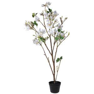 White Magnolia Tree in Black Pot