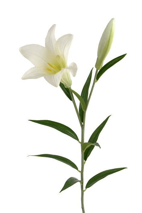 Easter White Lily