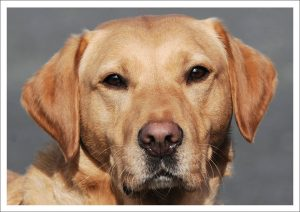 Greetings Card - Golden Lab