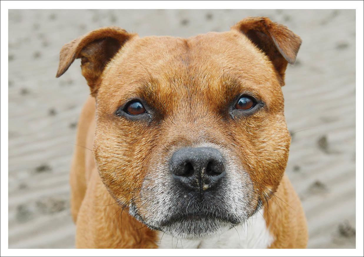 Greetings Card -Staffordshire Bull Terrier